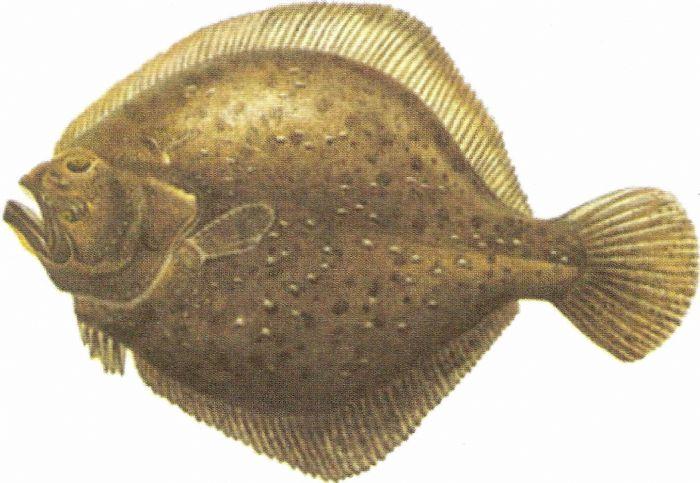 kalkan balığı ile ilgili görsel sonucu